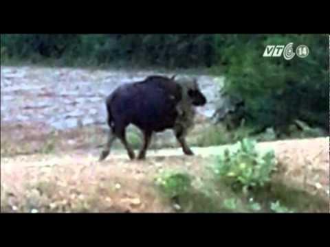 Bình Thuận: Bò tót xuất hiện ở khu dân cư