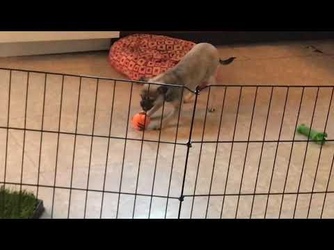 Our little chug, Gimli tries to imitate the sound her squeaky toy makes