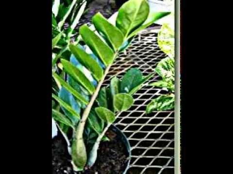 Comment soigner la plante zamioculcas la r ponse est sur for Zamioculcas exterieur
