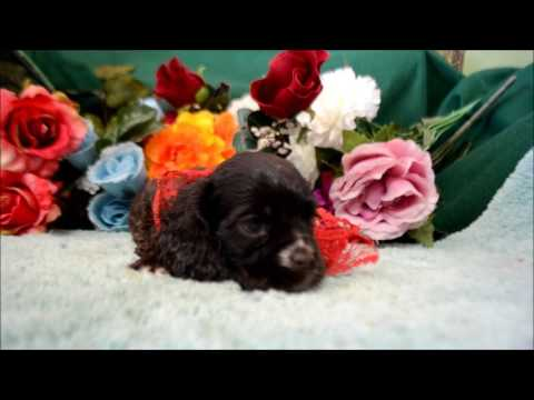 Sheldon AKC Chocolate Male Cocker Spaniel Puppy for sale