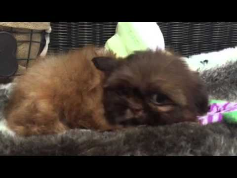 Spunky, Playful Shih tzu puppy
