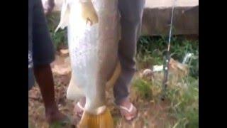 Video mancing ikan baramudi/kakap putih 15 kg di Sungai Roban Batang MP3, 3GP, MP4, WEBM, AVI, FLV Januari 2019