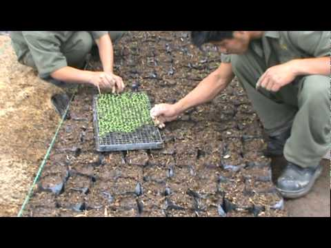 sembrado de plantulas