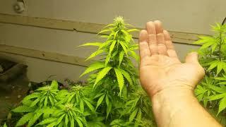 Autoflowers Nitrogen Deficiency by Medically Fit