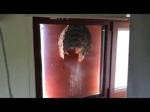 黃蜂在窗上築巢,天然的生態觀察箱…