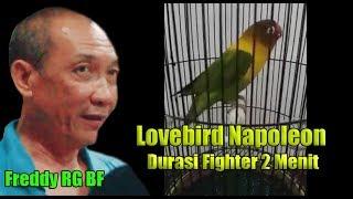 Lovebird Durasi 2 menit Fighter NAPOLEON milik Freddy RG BF, Curhat Tentang Konslet Dan Fighter