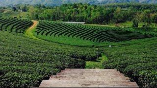 Mae Chan (Chiang Rai) Thailand  City new picture : Choui Fong tea plantation, Chiang Rai, Thailand