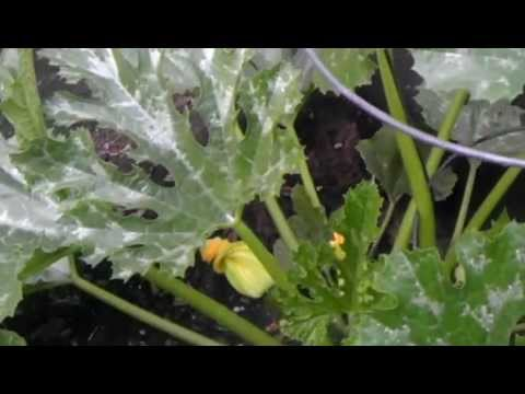 Day 3 Of Applying Garden Safe Fungicide Watch The Video