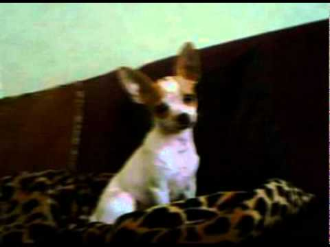 This cute chihuahua puppy loves to play!