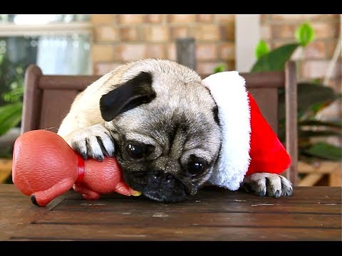 Christmas - It's that time of year, so to kick off the fun season, here's a bunch of fun lovin' Christmas Pugs! They're here to bring the happy. Subscribe for more! ‪htt...‬