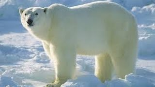 Snow and Ice Svalbard (Arctic Wildlife Documentary)