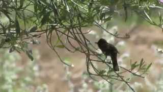 Video Olive-tree Warbler (Hippolais olivetorum) MP3, 3GP, MP4, WEBM, AVI, FLV Agustus 2018