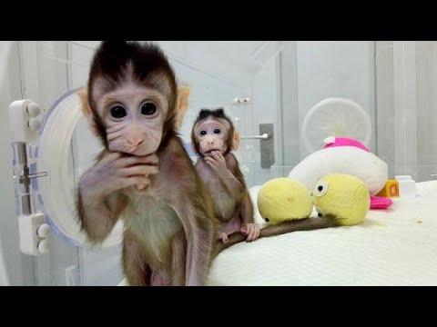 Κλωνοποίησαν τις πρώτες στον κόσμο μαϊμούδες – Πιο κοντά στην κλωνοποίηση ανθρώπων;…