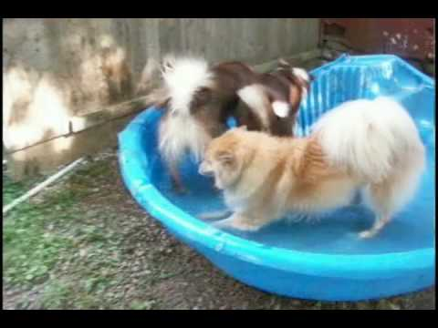 Icelandic Sheepdogs Beating the Heat