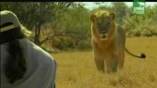 Video man vs lion MP3, 3GP, MP4, WEBM, AVI, FLV Juli 2017