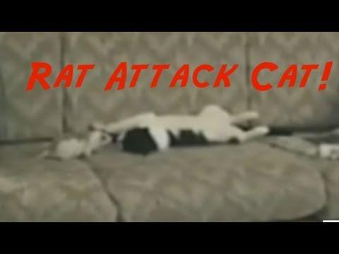 Rat Attack Cat ! 😮Commentary & Vid😮 David Spates