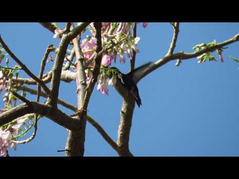 ENDEMIC, sapphire-bellied hummingbird, Lepidopyga lilliae, Parque Isla de Salamanca,
