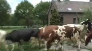 Koeien naar buiten! Koe & Boe