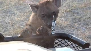 The Curious Hyenas