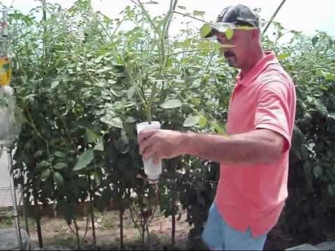 Rooting Tomato Suckers / Clones : A Clever Method
