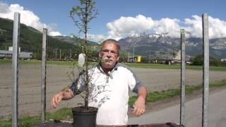 #664 Der Urweltmammutbaum - Metasequoia glyptostroboides