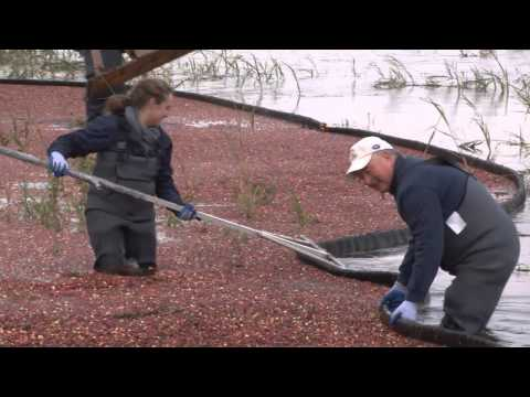 DelawareonlineTV - Ashley Barnas visits the only cranberry farm in Delaware to learn how to harvest with Tim Johnson. (10/12/12) Camera: Damian Giletto Editor: Daniel Sato Read...