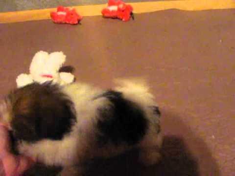 shorkiepuppiesplaying