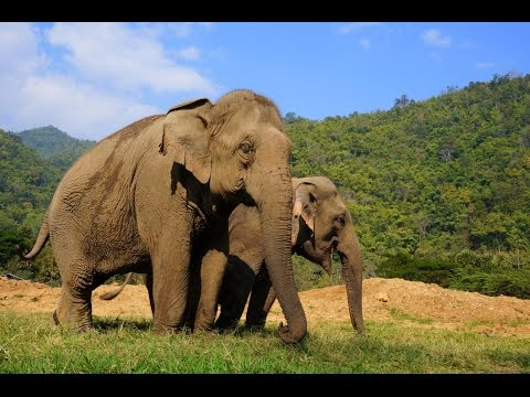 Visiting the Elephant Nature Park in Chiang Mai, Thailand travel video