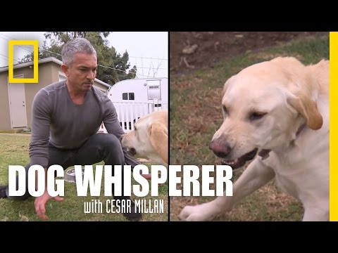 cesar millan vs holly the bad labrador!