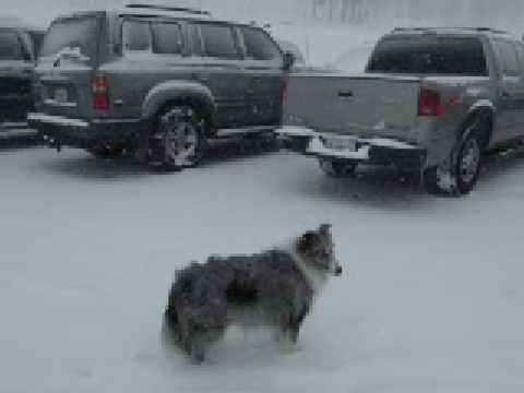 BluemerleSheltie - Blue Belle is a Blue Merle Sheltie having fun at Bear Valley Resort. This is a mixture of photos and video of her having a blast in the snow. She keeps tryin...