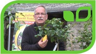Die Vierjahreszeiten-Zitrone
