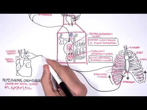Control Of Respiration (regulation of breathing)