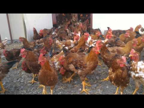 Pollos Camperos. Hora de salir al parque
