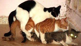 Download Video кошки совокупляются видео MP3 3GP MP4