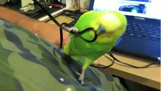 Naughty Budgie Pedro is into mischief again trying to get dady's attention.... Due to popular requests, Pedro now has his own channel where it will feature a lot of Vlogs, Budgie DIY's and also his regular entertaining videos. Hope to see you there.About this Channel - https://www.youtube.com/watch?v=4XNo9...MORE PEDRO the Budgie - https://www.youtube.com/playlist?list=PLKz21al88ViEmoVtph1ZjkyGfMchZFcgUJewelry Making Tutorials - http://www.youtube.com/playlist?list=PLKz21al88ViEih85hG7ZiSZIYQmsv6WV0How to Find Gold and Gems - http://www.youtube.com/playlist?list=PLKz21al88ViGnuqq5sYBjuBthfKPhRNGOLAPIDARY Gem Cutting  - https://www.youtube.com/playlist?list=PLKz21al88ViFknwDrLvXnyCXL_PaOuagoLiz Kreate Recipe - http://www.youtube.com/playlist?list=PLKz21al88ViFhoAEfZDfOtHqrQqBllUuX