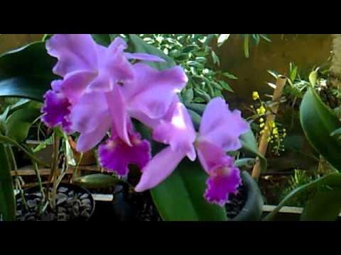 Orquídeas - Novo São Joaquim - MT