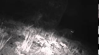Short sequence of a snow leopard mother and her small cubs on a nightly stroll in Kyrgyzstan's Sarychat Ertash Nature Reserve. Images:Snow Leopard FoundationSnow Leopard TrustState Agency for Environment Protection & Forestry of the Kyrgyz Republic