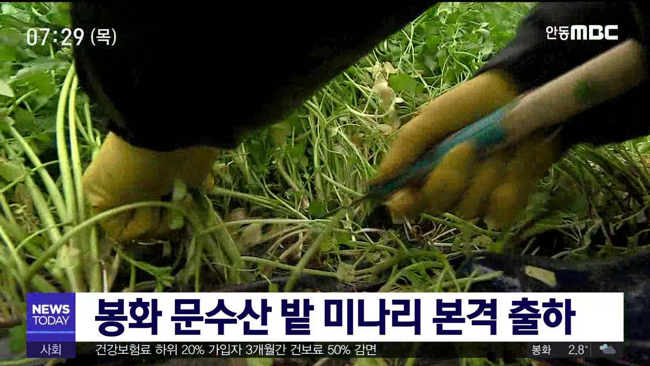 봉화 문수산 밭 미나리 본격 출하