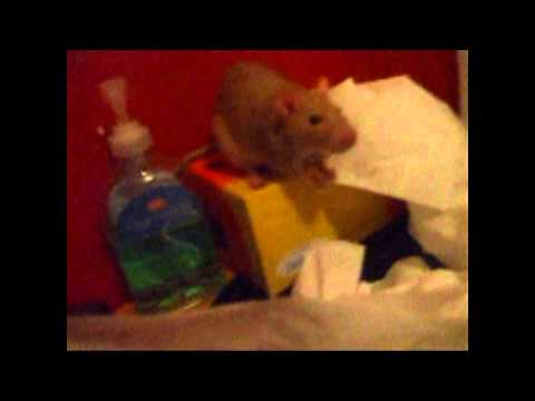 Download Molly the Rat hd file 3gp hd mp4 download videos