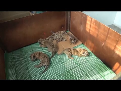 Adorable, Rare Tiger Quintuplets Are Raised By Keepers After Mom Rejects Them