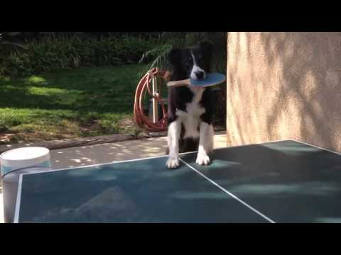 A dog that plays ping pong!