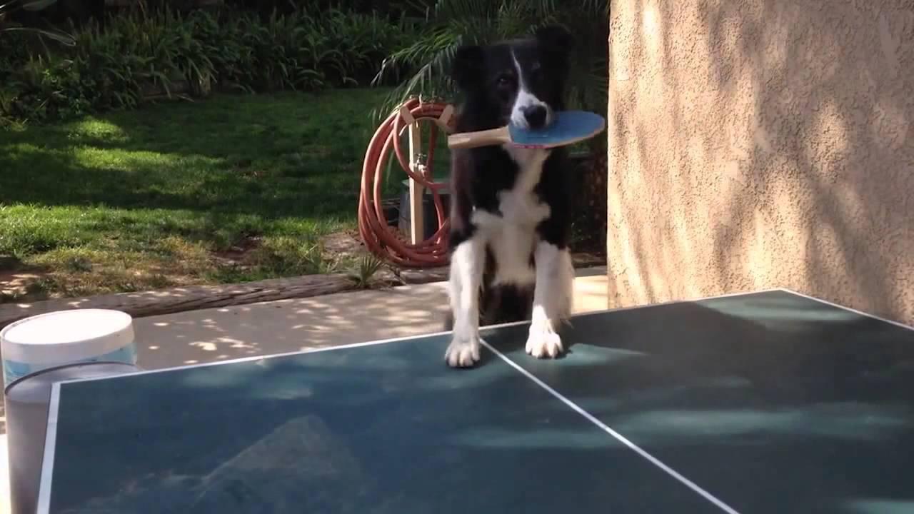 Pas koji igra stoni tenis