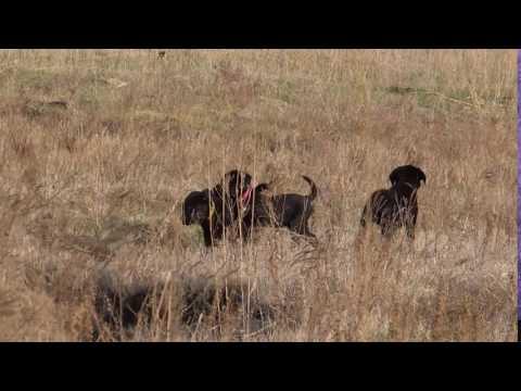 Labrador Retriever Females