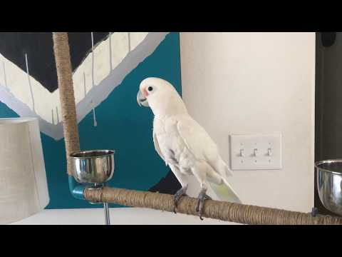 GOFFIN COCKATOO GETS DOWN TO DUBSTEP!