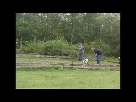 gundog training group  springer spaniel correcting