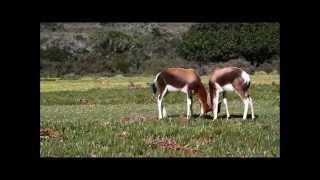 Combat de Bontebok - Rserve naturelle de De Hoop