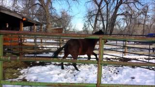 "<h5>Cayla&#039;s New Mustang Happy to Unload</h5><p>Cayla Stone brought home her new 2016 Mustang today. The bay mare, age four to six, handled the trip well, and willingly hopped out of the trailer into her new digs. This mare proved extra brave on the trip. Our truck's brakes almost completely failed part way home and required pumping and pushing to the floor to get any response. Fortunately the trailer brakes were fine and helped. Attempts were made to get assistance from auto repair shops in Colorado Springs, but none would take the truck immediately. Many thanks to Extreme Mustang Makeover 2016 youth contestant Madison Olver's family for following our rig home at ""glacial"" speeds on I-25 to help protect its valuable cargo from being rear-ended. We love this mare's floating trot and presence. Cayla has fostered, trained and successfully shown several horses in the Extreme Mustang Makeover. Competitors get 100 days to transform their Mustangs from wild horses into show horses.</p>"