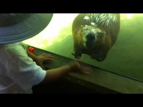 小男孩在動物園遇到可愛的海狸先生時猛揮手,下一秒海狸先生竟然也當場對他做出萌翻的動作!