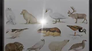 Animal species ,of the ,Tundra Biome,animals, animal, species, ruddy turnstone, tundra, biome, snow, ice, cold, biology, biogeography, science, bioscience, fauna, fox, owl, bear, ox, bird, dear, goose, Norway Lemming, lemming, Rock Ptarmigan, Gyrfalcon, turnstone, raddy turnstone, geographonic, snow bunting, musk ox, Caribou, Tundra swan, swan, polar bear, arctic fox,Playlists