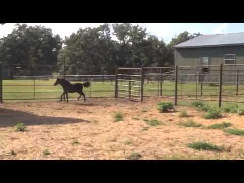 Alliance Boleros Regina FOR SALE Miniature Horse Weanling Filly